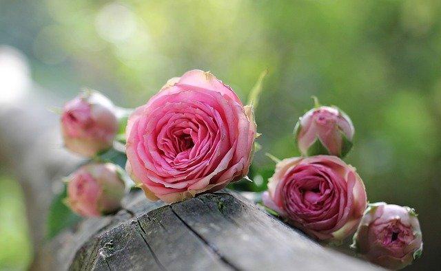 Tipy na pestovanie ruží v záhrade